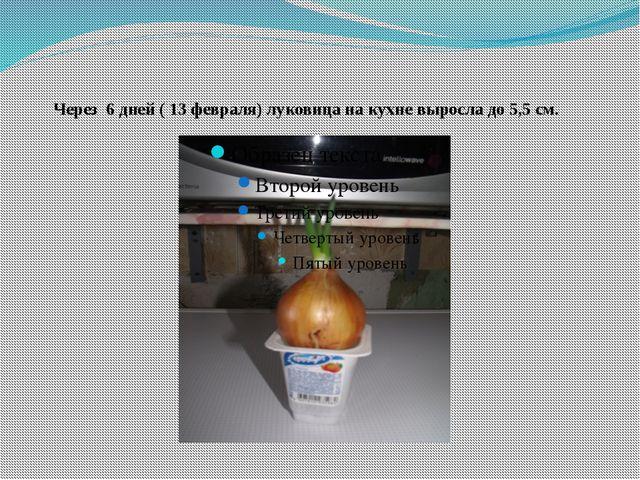 Через 6 дней ( 13 февраля) луковица на кухне выросла до 5,5 см.
