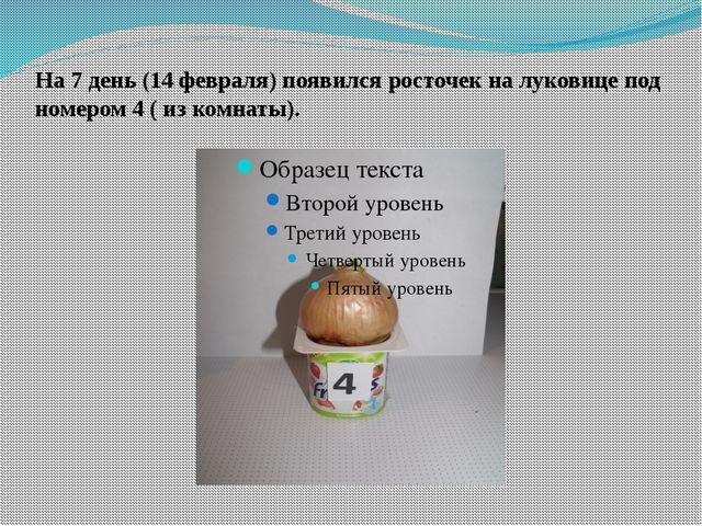 На 7 день (14 февраля) появился росточек на луковице под номером 4 ( из комна...