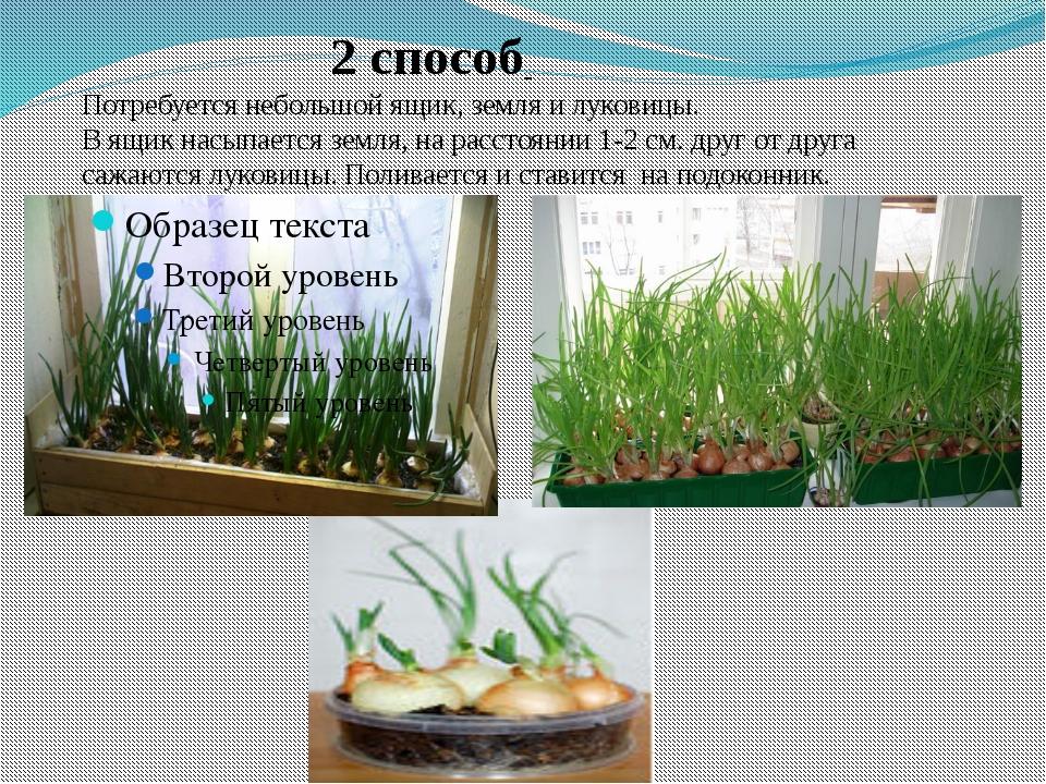 2 способ Потребуется небольшой ящик, земля и луковицы. В ящик насыпается зем...