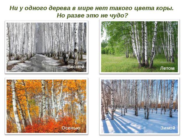 Ни у одного дерева в мире нет такого цвета коры. Но разве это не чудо? Весной...