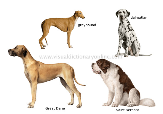 http://visual.merriam-webster.com/images/animal-kingdom/carnivorous-mammals/dog-breeds_2.jpg