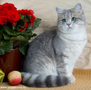 http://www.peppercats.ru/foto/DSC_1342_med.jpg