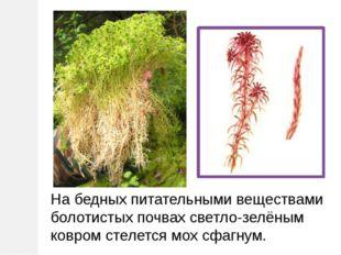 На бедных питательными веществами болотистых почвах светло-зелёным ковром сте