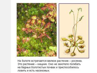На болоте встречается мелкое растение – росянка. Это растение – хищник. Оно н