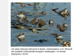 На зиму лягушки прячутся в ямках, закапываясь в ил. Весной же громкий «лягуша