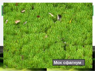 Какое болотное растение можно использовать вместо йода и ваты? Мох сфагнум