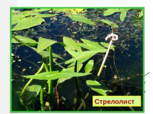 Отгадай по описанию: Частично погружён в воду. Цветки с тремя лепестками. Лис