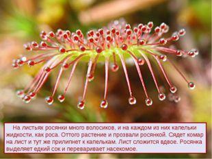 На листьях росянки много волосиков, и на каждом из них капельки жидкости, ка