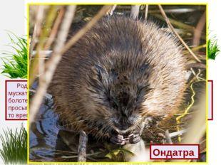 Родина этого зверька Северная Америка, где его называют мускатной крысой. Он
