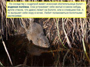 По соседству с ондатрой живёт исконная обитательница болот – водяная полёвка