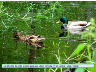 На болоте всегда много разных уток: кряква, утки-нырки, утки-чирки.