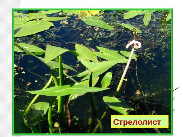 Отгадай по описанию: Частично погружён в воду. Цветки с тремя лепестками. Лис...