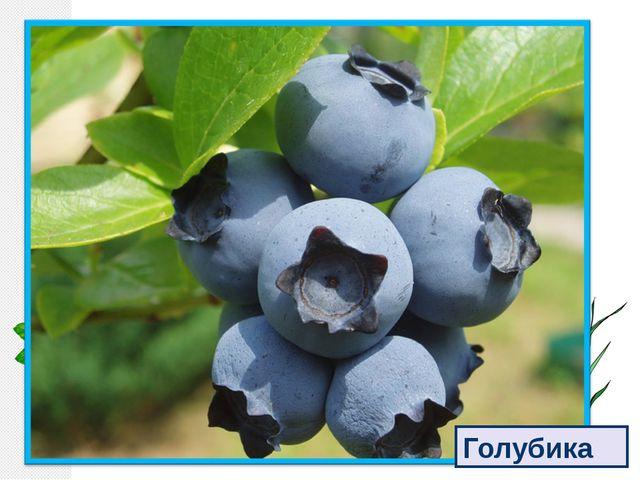 Голубые ягодки Повисли на кусточке. Голубые ягодки Зелёные листочки. Голубика