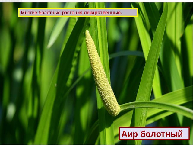 Многие болотные растения лекарственные. Аир болотный