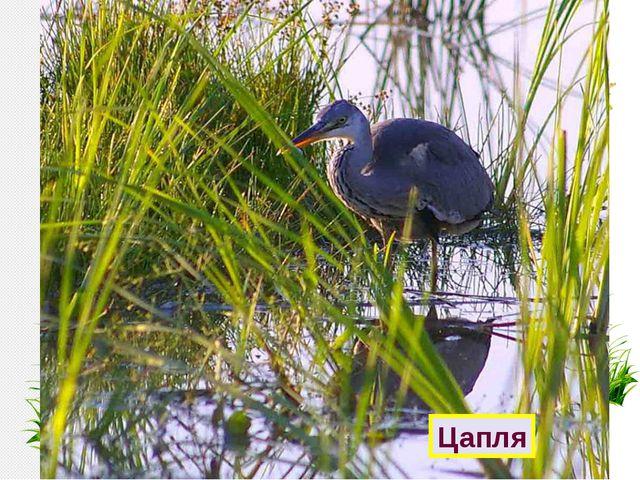 Отгадайте птиц болот. У меня ходули – Не страшит болото. Лягушат найду ли – В...