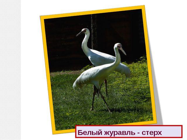 Белый журавль - стерх