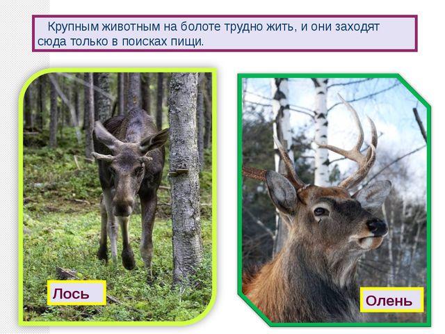 Крупным животным на болоте трудно жить, и они заходят сюда только в поисках...