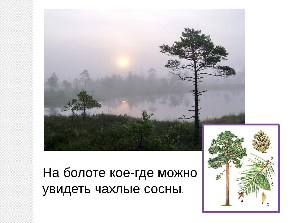 На болоте кое-где можно увидеть чахлые сосны.