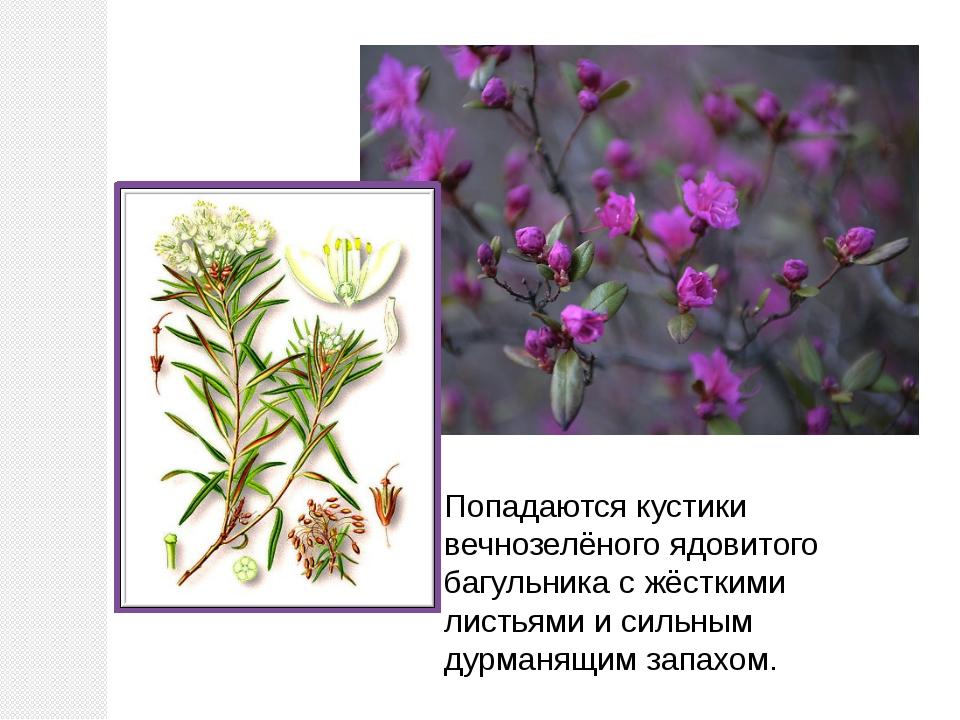 Попадаются кустики вечнозелёного ядовитого багульника с жёсткими листьями и с...