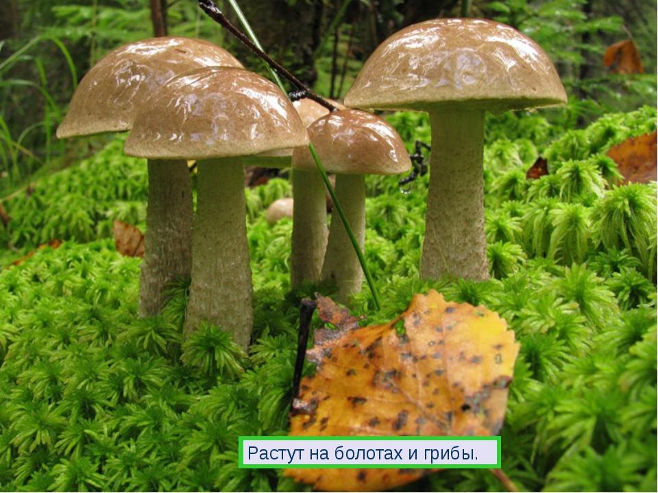 Растут на болотах и грибы.