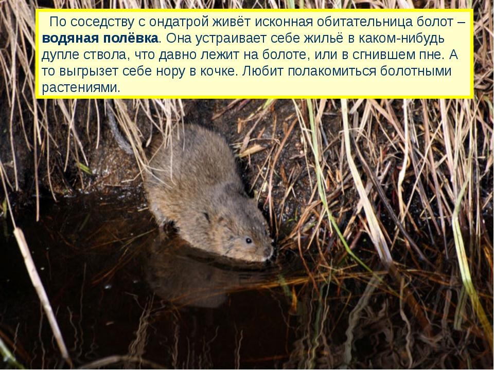 По соседству с ондатрой живёт исконная обитательница болот – водяная полёвка...
