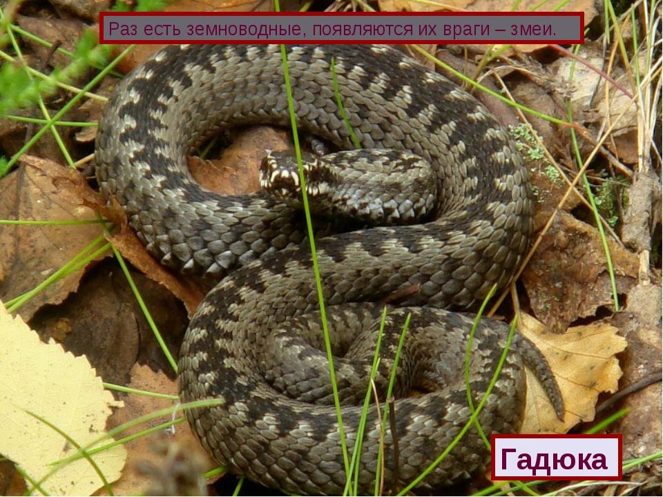 Раз есть земноводные, появляются их враги – змеи. Гадюка
