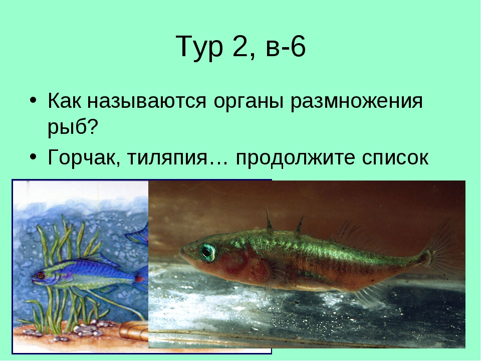 Тур 2, в-6 Как называются органы размножения рыб? Горчак, тиляпия… продолжите...