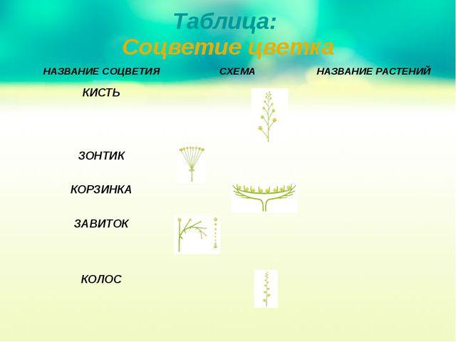 Таблица: Соцветие цветка НАЗВАНИЕСОЦВЕТИЯ СХЕМА НАЗВАНИЕ РАСТЕНИЙ КИСТЬ ЗОНТИ...