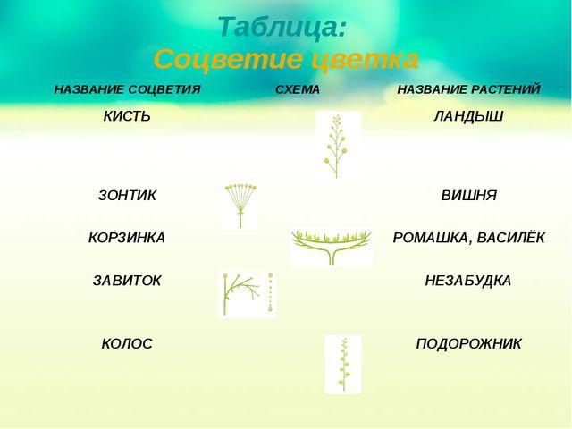 Таблица: Соцветие цветка НАЗВАНИЕСОЦВЕТИЯ СХЕМА НАЗВАНИЕ РАСТЕНИЙ КИСТЬ ЛАНДЫ...