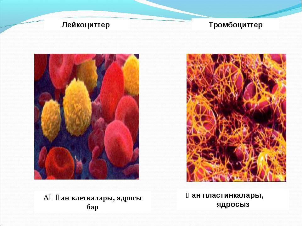 Ақ қан клеткалары, ядросы бар Лейкоциттер Қан пластинкалары, ядросыз Тромбоци...