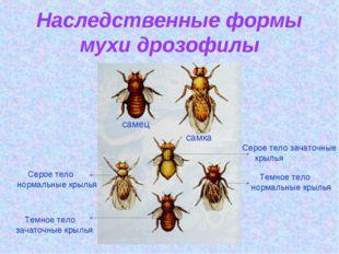 Наследственные формы мухи дрозофилы самец самка Серое тело зачаточные крылья