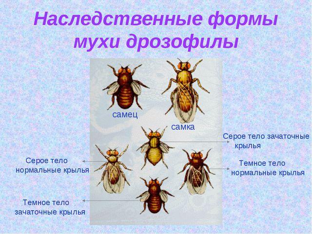 Наследственные формы мухи дрозофилы самец самка Серое тело зачаточные крылья...