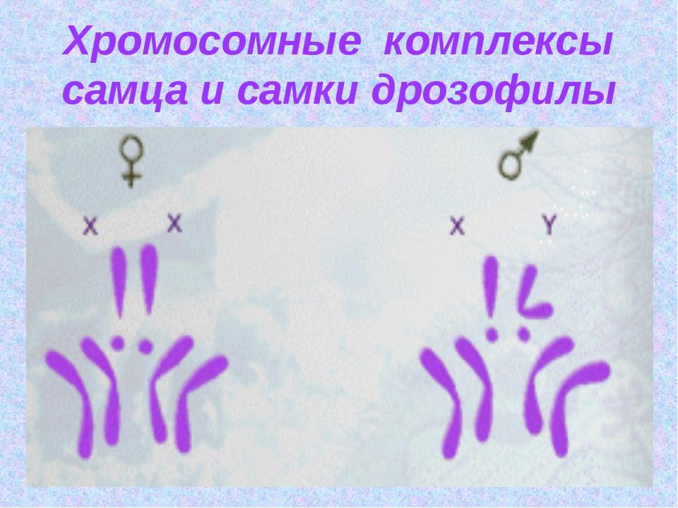 Хромосомные комплексы самца и самки дрозофилы