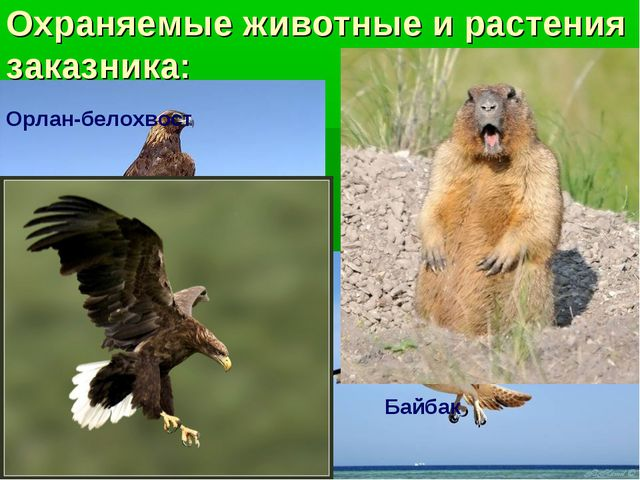 Охраняемые животные и растения заказника: Беркут Орел-могильник Орлан-белохво...