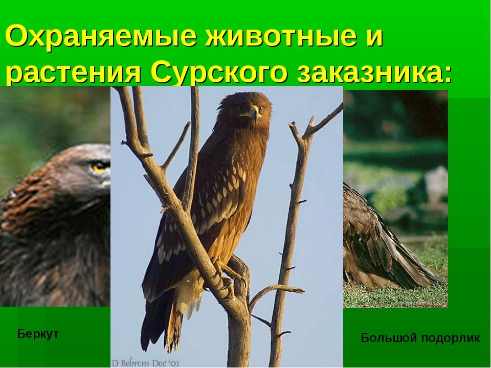 Охраняемые животные и растения Сурского заказника: Беркут Черный гриф Большой...