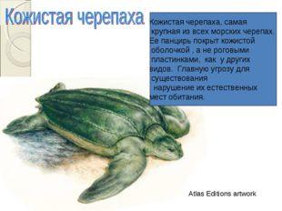 Кожистая черепаха, самая крупная из всех морских черепах. Ее панцирь покрыт к