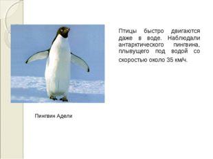 Птицы быстро двигаются даже в воде. Наблюдали антарктического пингвина, плыв