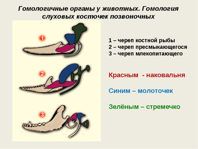 Гомологичные органы у животных. Гомология слуховых косточек позвоночных 1–ч...