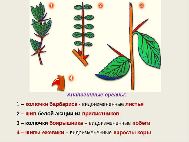 Аналогичные органы: 1–колючки барбариса - видоизмененные листья 2–шип бел...