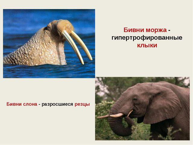 Бивни слона - разросшиеся резцы Бивни моржа - гипертрофированные клыки
