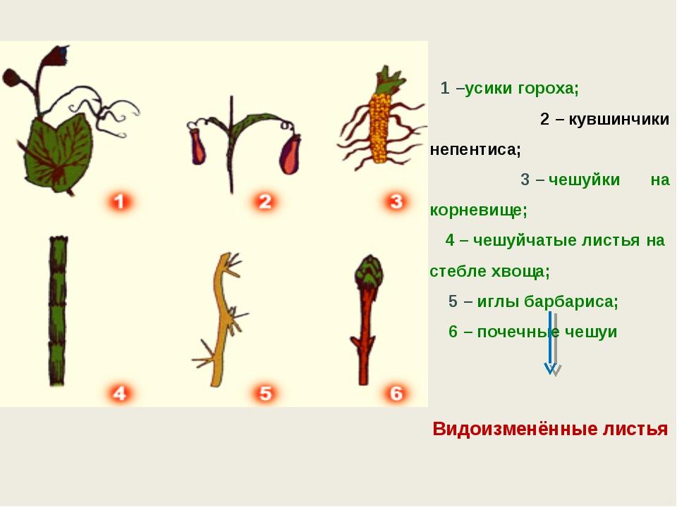 1–усики гороха; 2–кувшинчики непентиса; 3–чешуйки на корневище; 4–чеш...