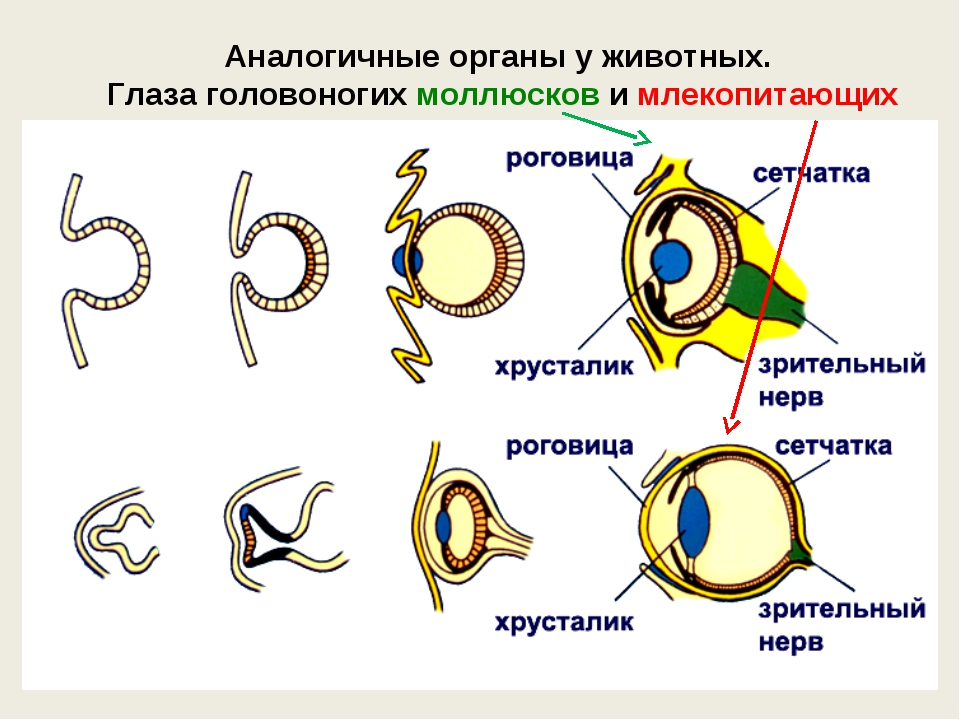 Аналогичные органы у животных. Глаза головоногих моллюсков и млекопитающих