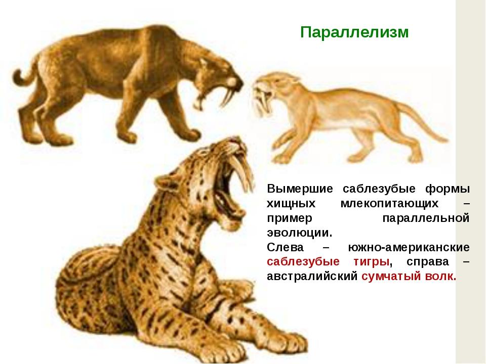 Вымершие саблезубые формы хищных млекопитающих – пример параллельной эволюции...