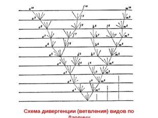 Схема дивергенции (ветвления) видов по Дарвину