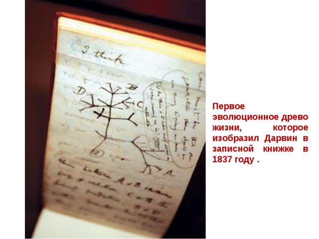 Первое эволюционное древо жизни, которое изобразил Дарвин в записной книжке в...