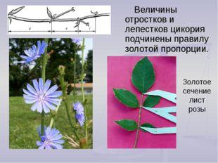 Золотое сечение лист розы Величины отростков и лепестков цикория подчинены пр