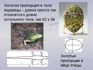 Золотая пропорция в теле ящерицы – длина хвоста так относится к длине остальн