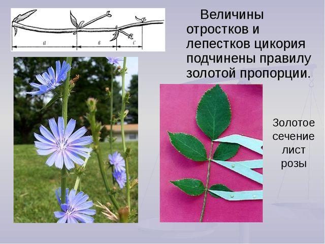 Золотое сечение лист розы Величины отростков и лепестков цикория подчинены пр...