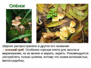 Опёнок Широко распространено и другое его название - осенний гриб. Особенно х