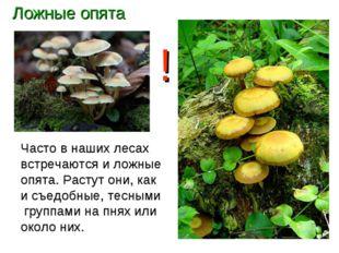 Ложные опята Часто в наших лесах встречаются и ложные опята. Растут они, как